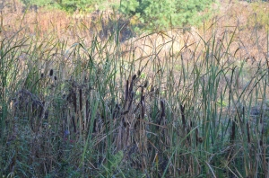 Bullrushes