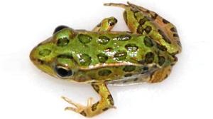 one leg frog