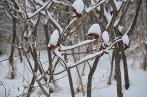 snow capped sumack